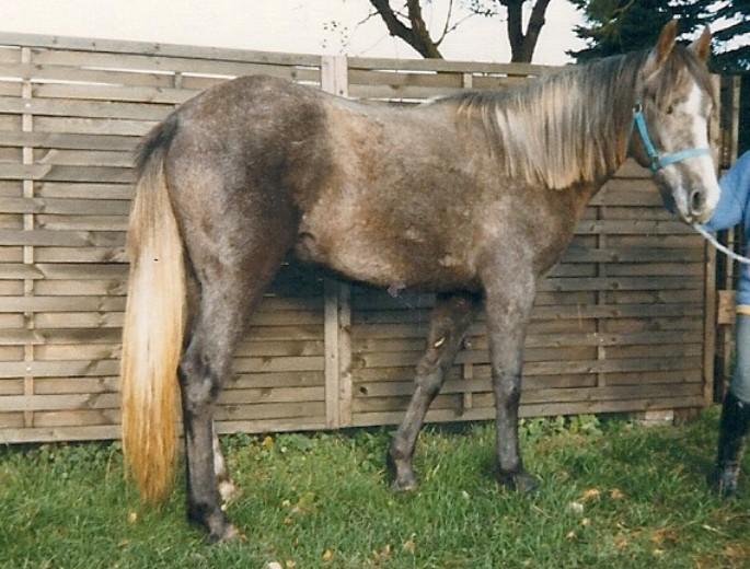 spanischer schritt pferd